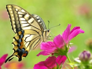 Beautiful Butterfly and Pink Flower