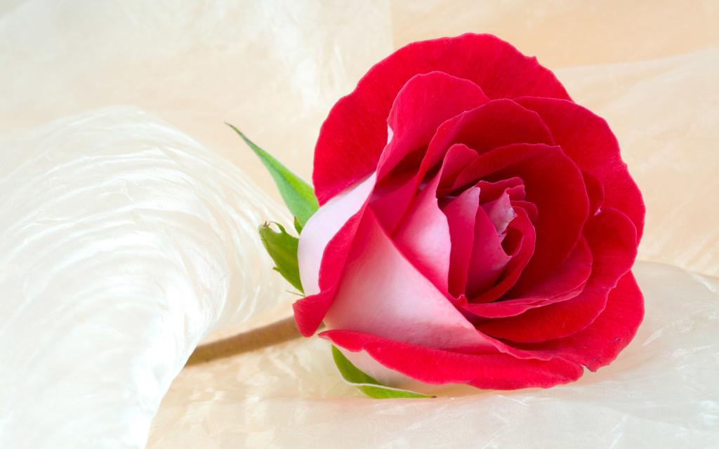 True Beauty Rose